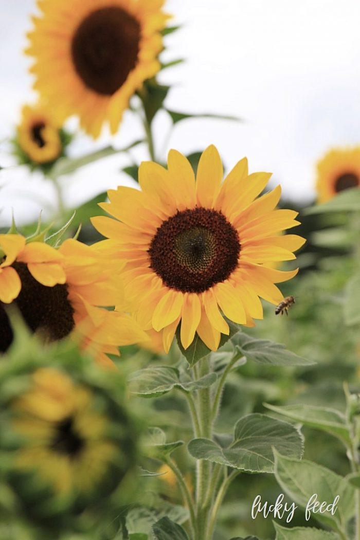 Midsommar, Sonnenblumen, Sonnenblumenfeld, Sommer